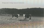 Bridgewater College, Cattle on the College Farm, 1938 by Bridgewater College