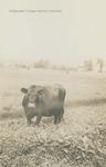 Bridgewater College, Professor Van Pelt's bull on the College Farm, 1925 by Bridgewater College