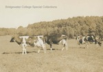 Bridgewater College, Old photograph of dairy cattle on the College Farm, undated by Bridgewater College