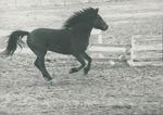Bridgewater College, Bay horse on College Farm, undated by Bridgewater College