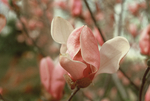 Close up of saucer magnolia by L. Michael Hill Ph.D.
