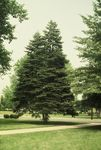 Balsam Fir in front of Nininger Hall by L. Michael Hill Ph.D.