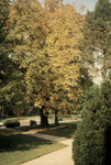 American elm close to East College Street by L. Michael Hill Ph.D.