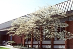 Dogwoods outside the Kline Campus Center dining hall by L. Michael Hill Ph.D.