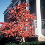 Dogwood in front of Wright Hall by L. Michael Hill Ph.D.