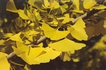 Close up of Ginkgo leaves by L. Michael Hill Ph.D.