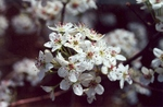 Close up of Bradford pear flower by L. Michael Hill Ph.D.