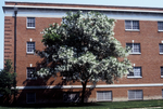 American yellowwood tree on the east side of Daleville Hall, early 2000's by L. Michael Hill Ph.D.
