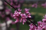 Close up of the flower of the redbud tree, early 1970's by L. Michael Hill Ph.D.