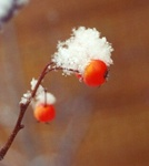 20. Close-up of the hawthorne showy fruit in winter. by L. Michael Hill Ph.D.